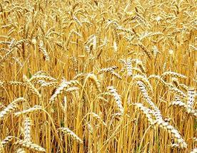 Купим пшеницу 3-й класс москва